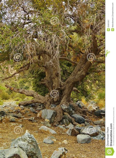 oak landscaping tree with gnarled branches in a forest stock image cartoondealer 78256729