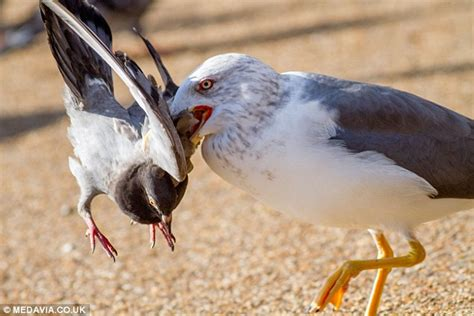 killer seagull terrorising hyde park drowning pigeons and