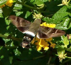 some type of hummingbird moth aellopos titan bugguide net