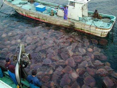 quallen le jellyfish threaten to dominate oceans