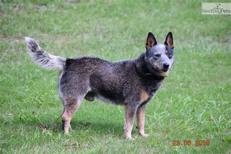 blue heeler puppies for sale in florida australian cattle blue heeler puppies are for sale in australia breeds picture