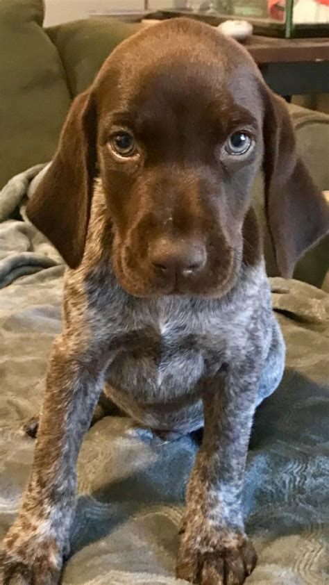 german shorthaired pointer puppies for sale in florida awesome german shorthaired pointer puppies
