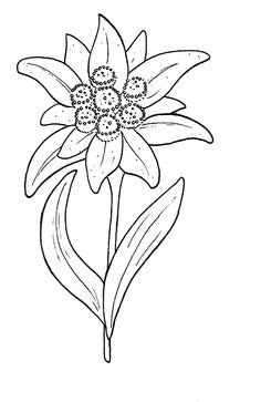 Edelweiss clipart - Clipground