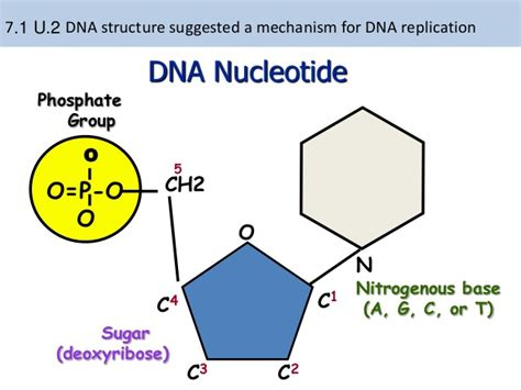diagram of nucleotide 7 1 dna replication