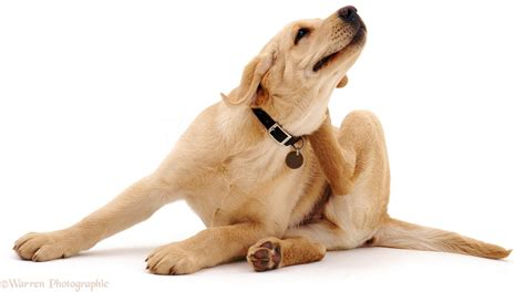 puppy scratching yellow labrador scratching its neck photo wp04253
