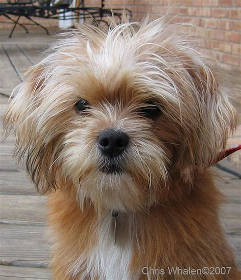 shorkie hair styles 38 best shorkies haircuts images on pinterest haircuts