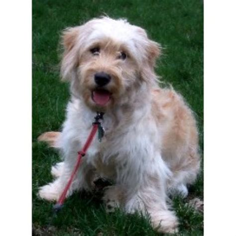 mini doodles ohio cytologycial mini goldendoodle breeders in ohio