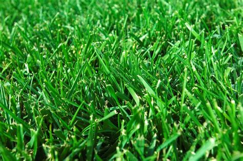 couch grass description buffalo grass description a great choice for your home