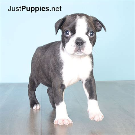 dogs for sale orlando boston terrier puppies for sale orlando fl breeds picture
