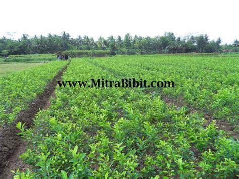 Bibit Lada Perdu Di Bandung cv mitra bibit hama dan penyakit pada tanaman jeruk