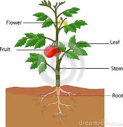 Showing the parts of a tomato plant stock vector image 45854183