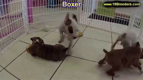 boxer puppies for sale in richmond va boxer puppies dogs for sale in norfolk county virginia va 19breeders richmond