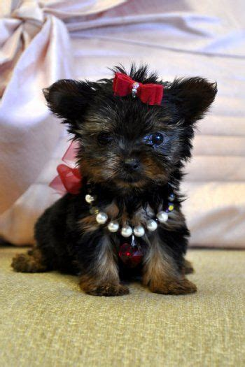 pocket yorkie 17 best images about pocket pets on canada yorkie and pets for sale