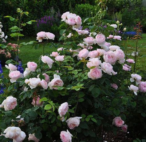 Garden Art Ideas - 7 best images about růže on pinterest sweet princess alexandra and english roses