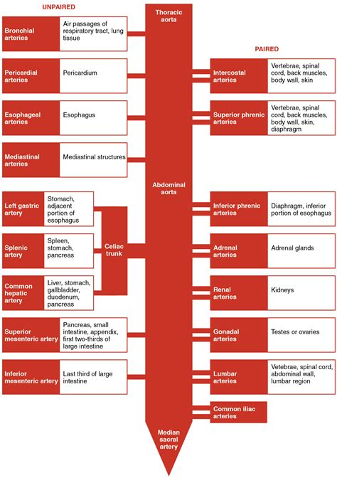 pattern of blood flow quizlet 20 5 circulatory pathways anatomy and physiology