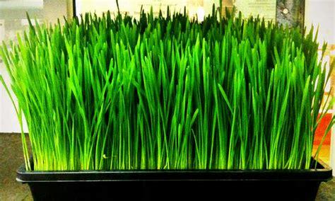 grow wheatgrass easily      epic