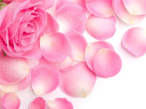 wallpaper flower petal rose flowers wallpaper rose petal wallpaper