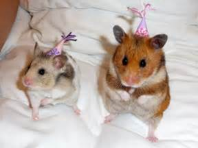 Petal and lupin in their party mammal pet hats hamster rodent cute