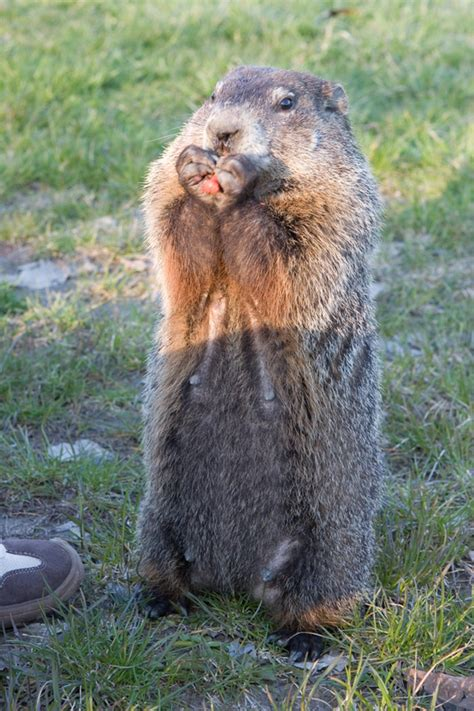 groundhog day name 10 and known facts about groundhogs na2ure