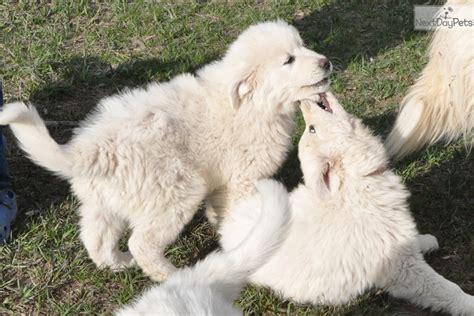 great pyrenees puppies colorado great pyrenees puppy for sale near colorado springs colorado 9341888e 3481