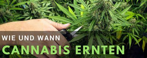 wann b rlauch ernten hanfanbau cannabis anbau anleitung hanf growguide