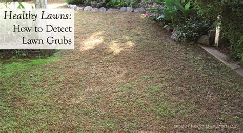 curl grubs in vegetable garden healthy lawns how to detect lawn grubs about the garden