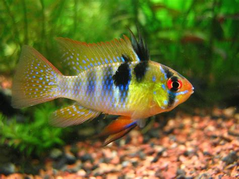 vs non fish 5 most non aggressive cichlids land of fish