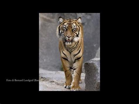 l uomo tigre testo l uomo tigre sigla originale doovi