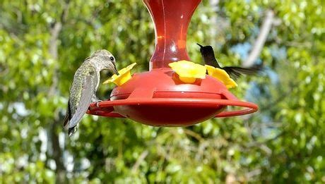 17 best ideas about hummingbird food mixture on pinterest