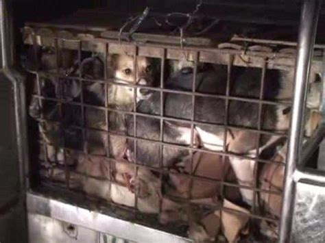 the philippines' illegal dog meat trade youtube