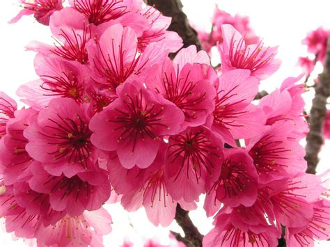 blossom cherry picture cherry blossom flowers flowers wallpapers