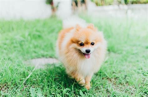 pomeranian span 10 breeds with lifespan