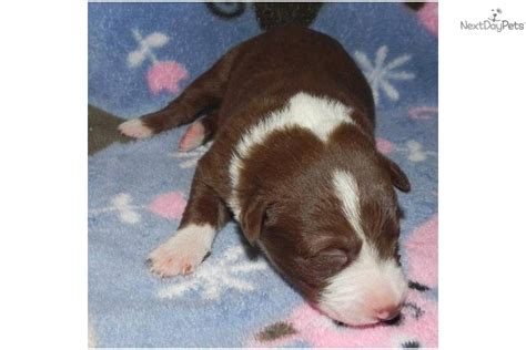 mcnab puppies for sale mcnab puppy for sale near chico california dc92306d 7531