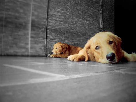 dogs similar to golden retriever dogs animal animals pet golden retriever golden retriever lp photography hd wallpaper