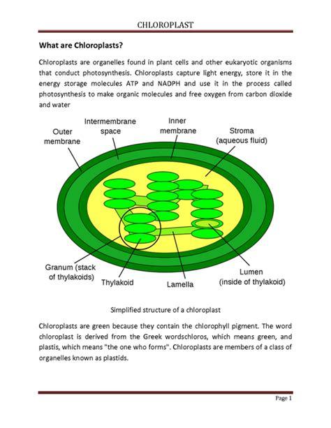 chloroplast worksheet resultinfos