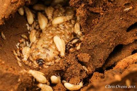 termite queen  story  survival africa geographic
