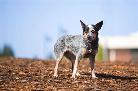 does a blue heeler australian shepherd mix shed a lot if