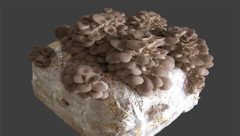 funghi coltivati in casa funghi pleurotus in balla casa giardino