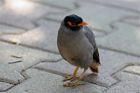 how much does a mynah bird cost howmuchisit org