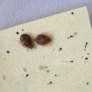 bed bugs appearance  life cycle bed bugs         epa