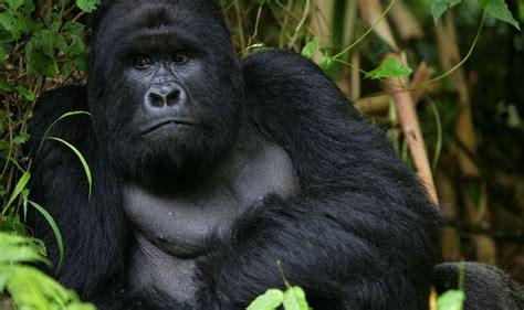Kaos 3d Genethics Gorilla Black caign saves a critically endangered gorilla