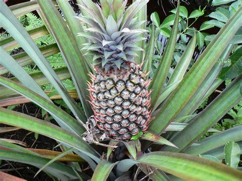 tanaman nanas kumpulan buah buahan allah