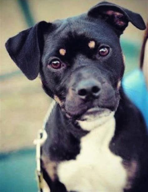 terrier rottweiler mix boston rottweilers and breeds on