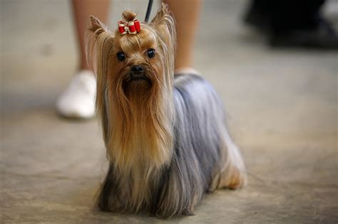 show yorkies yorkie in show coat breeds picture