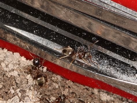 Swiss Army Deliberate Lasius Niger And Lasius Platythorax The Ant Farm And