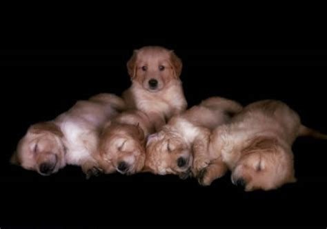 golden retriever for sale mn cheap golden retriever puppies for sale in mn dogs in our photo