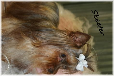 shih tzu rescue scotland yorkie biewer imperial shih tzu scottish terrier breeders breeds picture