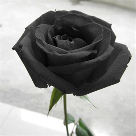 shipping  black rose seeds long stem rare color