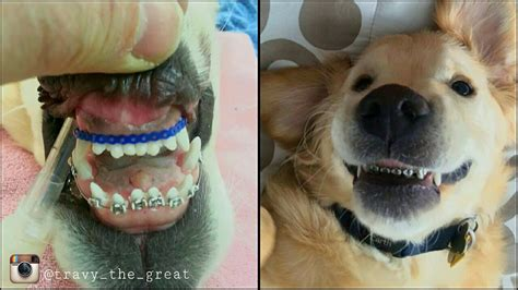 braces for dogs from michigan gets braces