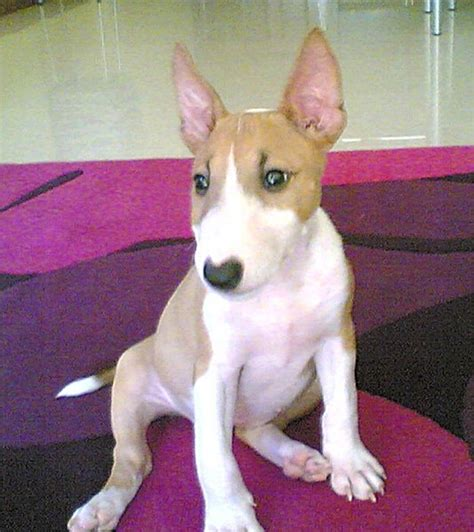 mini bull terrier puppies miniature bull terrier puppies breeders bull terriers